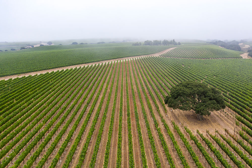 Soberanes Vineyard Fog
