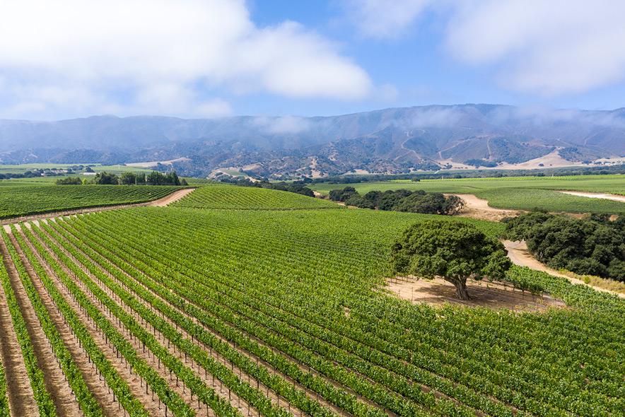 Soberanes Vineyard Fog Lifting