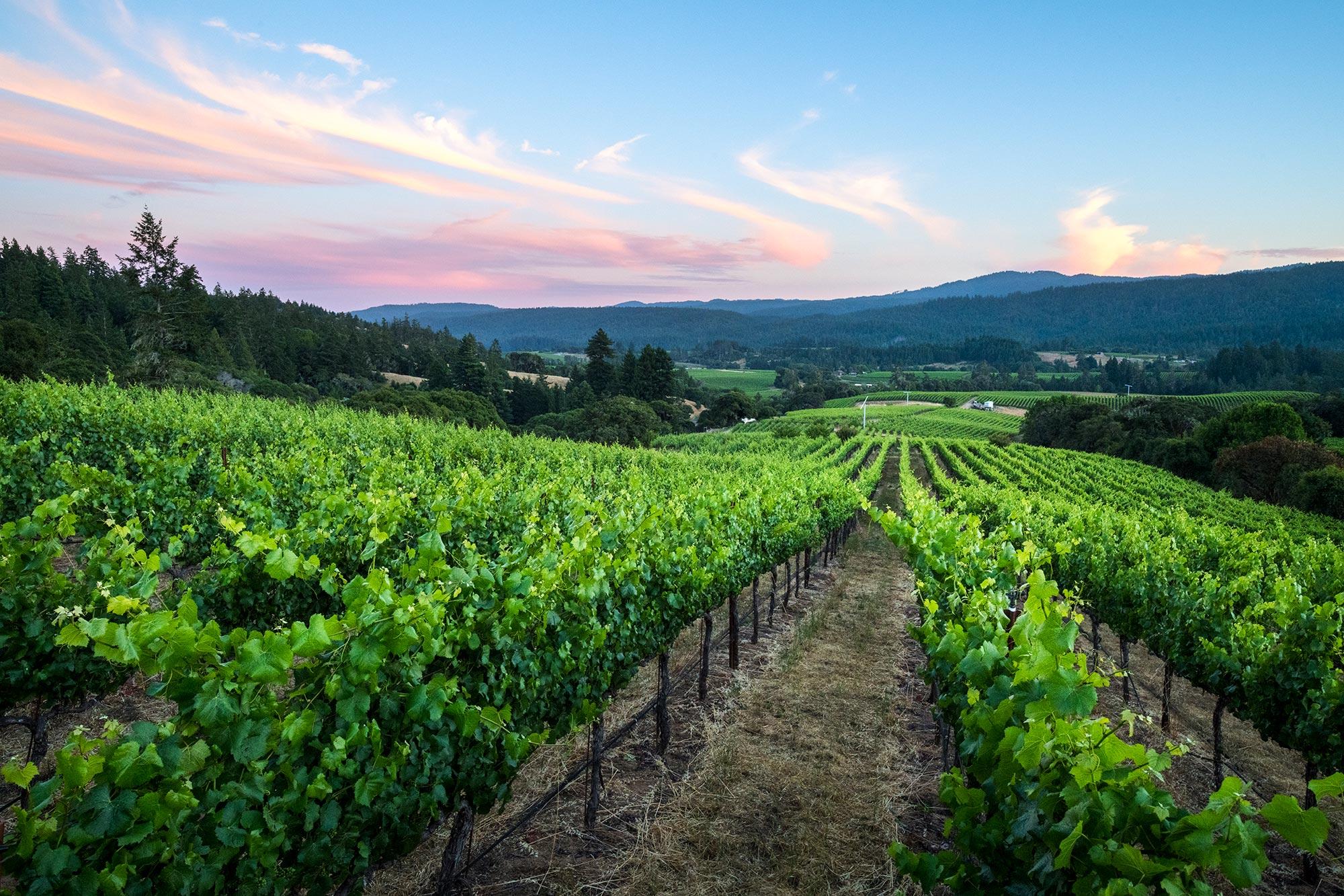 Scenic of Bearman Bend vineyard, Anderson Valley CA