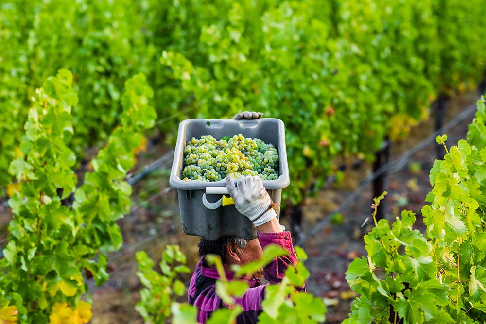 Picking sauvignon blanc grapes