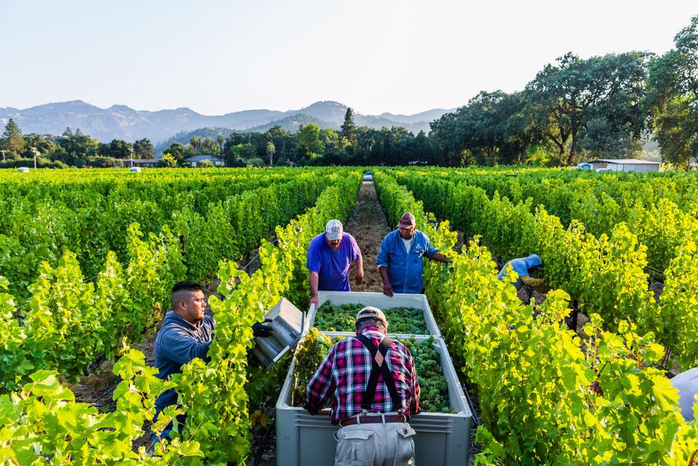 Sauvignon Blanc harvest at Calistoga Estate Vineyard
