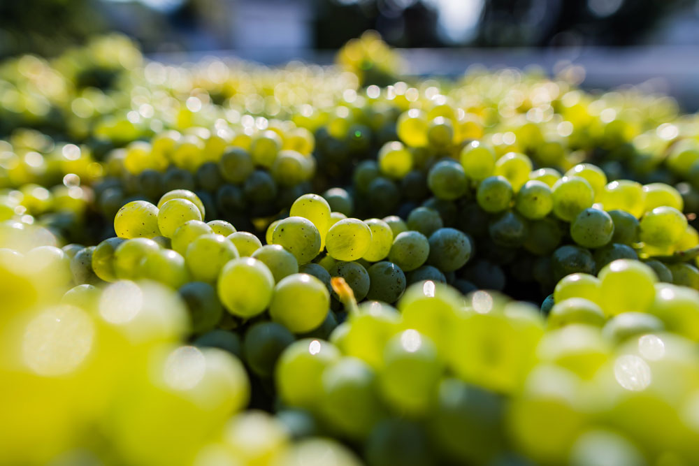 Sauvignon Blanc from Calistoga Estate Vineyard