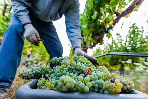 Harvesting Sauvignon Blanc grapes at Twomey's Calistoga Estate