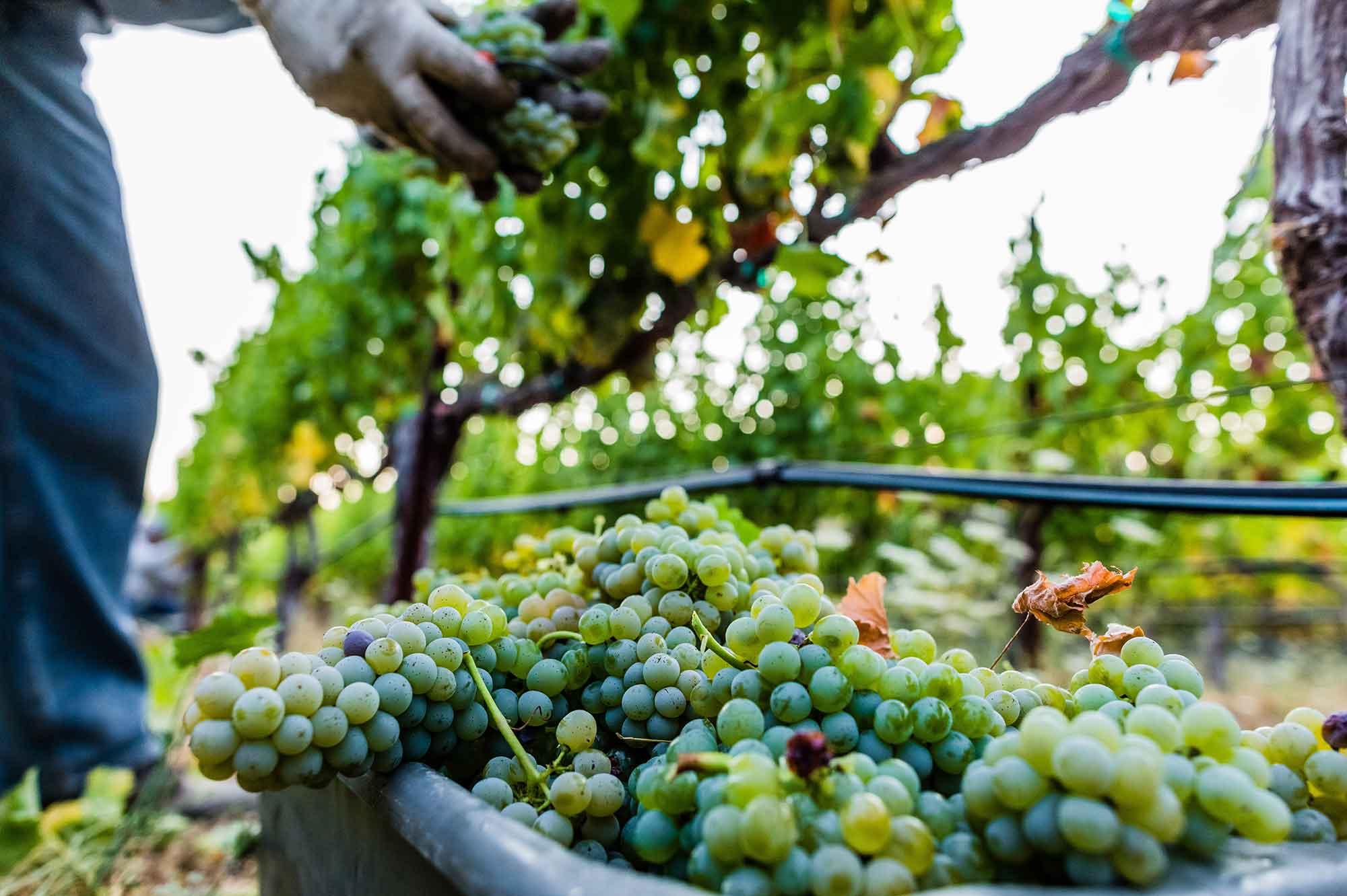 Harvesting Sauvignon Blanc grapes