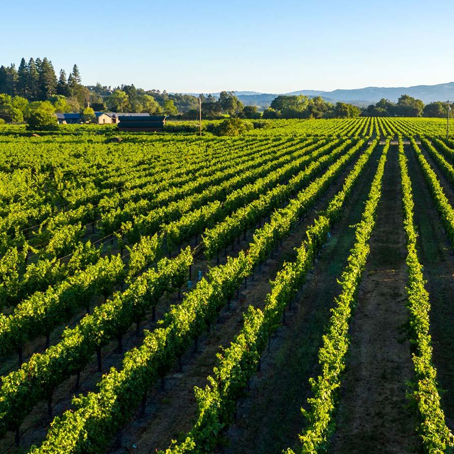 Vineyard Scenic