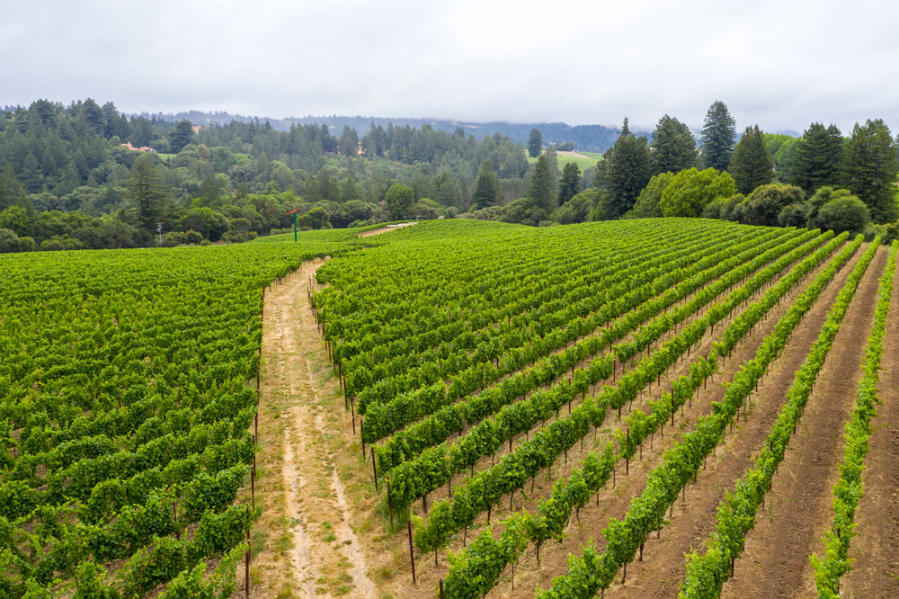 Vineyard rows at Monument Tree Vineyard