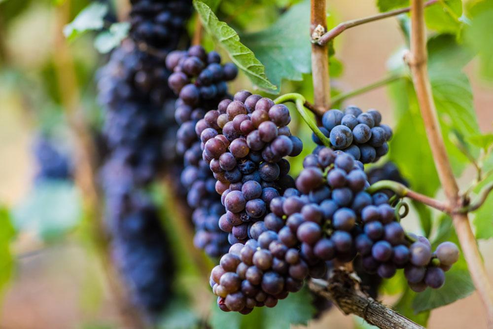 Pinot Noir from Dundee Hills