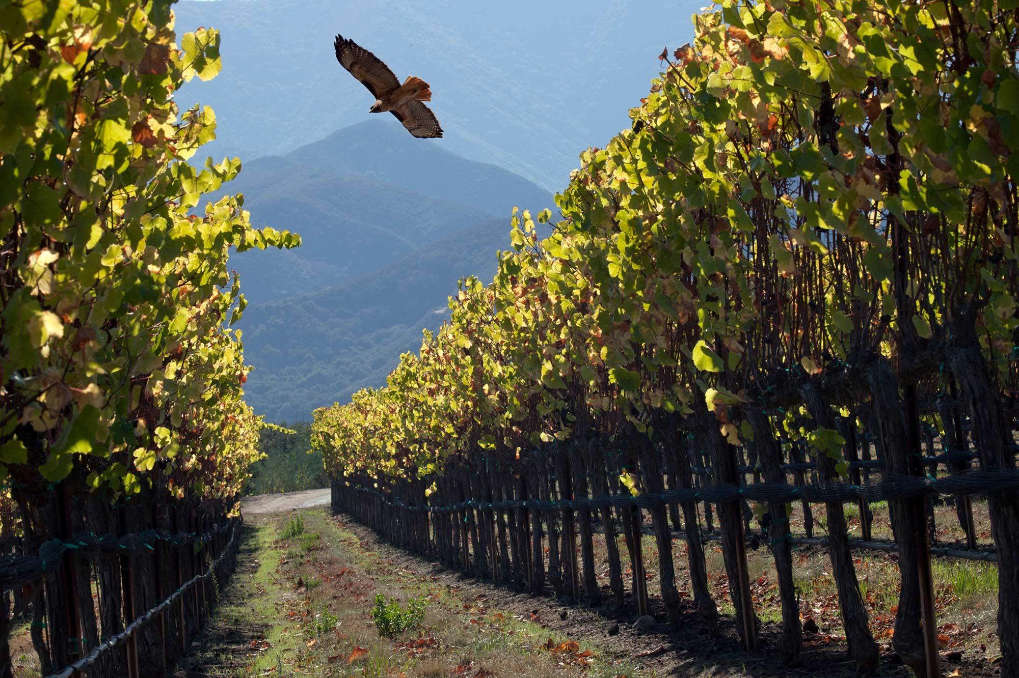 Eagle flies over Soberanes Vineyard