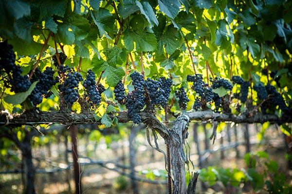 Twomey's Westpin vineyard